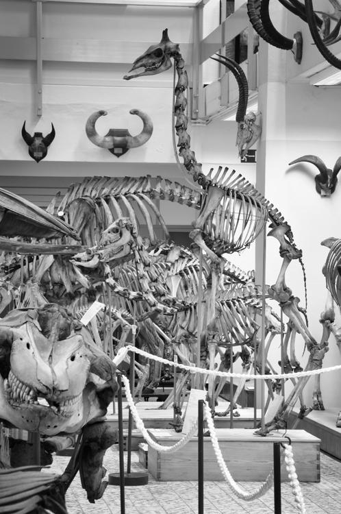 Sfeerbeeld van de zoogdierenskelettenverzameling van het Museum voor Dierkunde met links vooraan de schedel van de Orka, en rechts een volledig beeld van een jonge Giraf. Aan de muren hangen enkele hoorns.